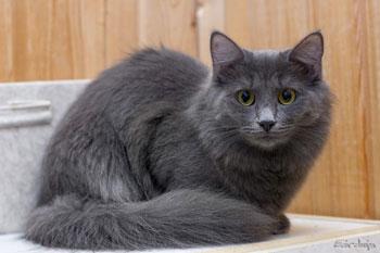 Коты породы нибелунги