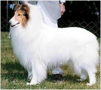 шотландская овчарка фото белая