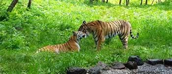 tigra-amura-zhenili_001