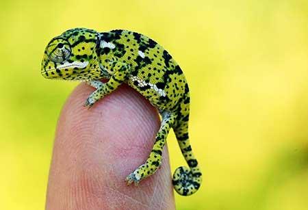 chameleons_6