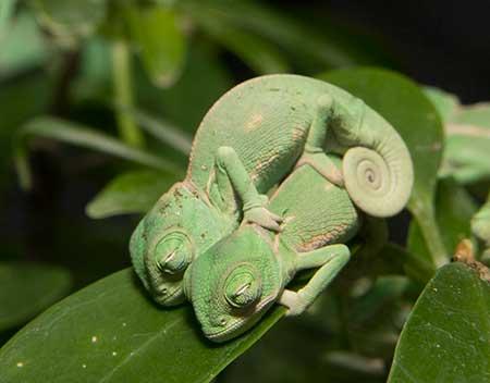 chameleons_8