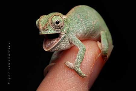 chameleons_9