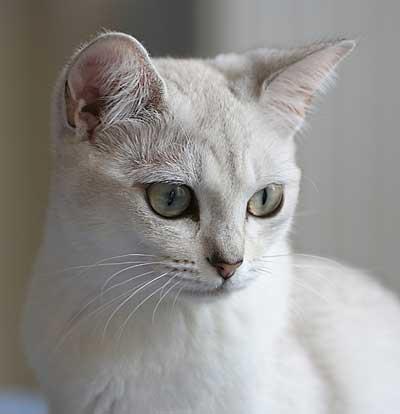 Бурмилла фото кот