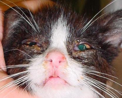 кошек) Rhinotracheitis