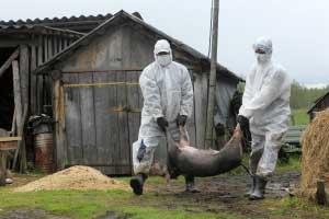 ящур у свиней фото
