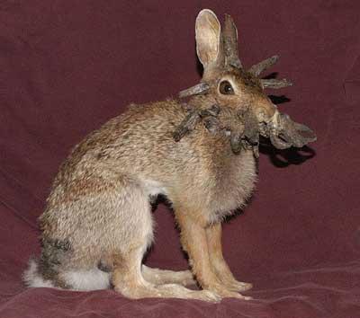 Инфекционный папилломатоз (бородавки) кроликов. | OMEDVET