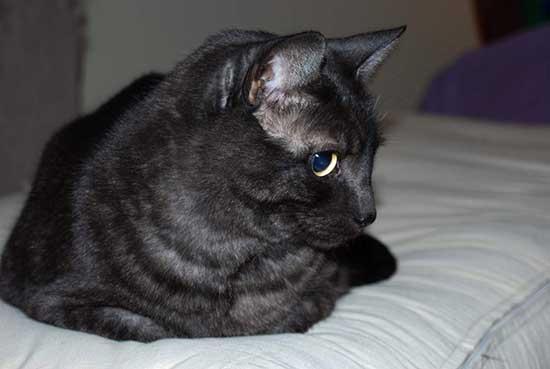 Азиатская короткошерстная кошка