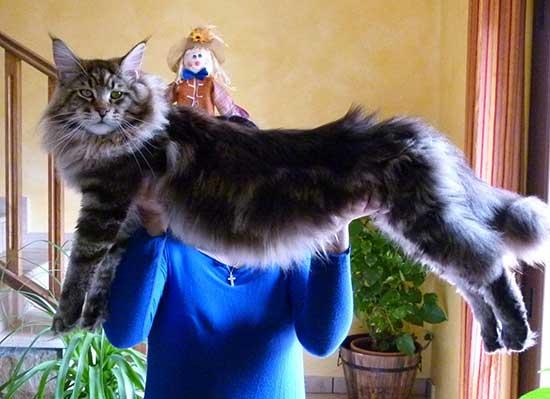 американская порода кошек мейн кун