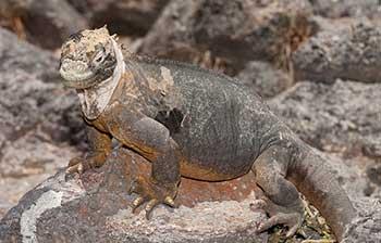 gibridnaya-iguana_001