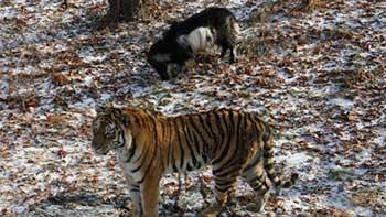 neobychnaya-druzhba-tigra-i-kozla_001