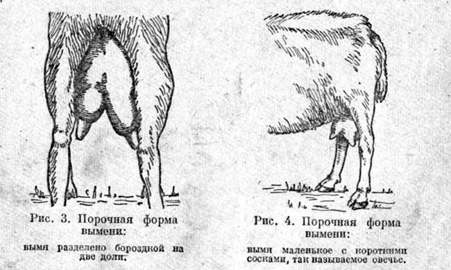 выбор молочной козы