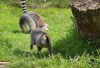 lemur_spasen_002