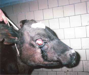 Инфекционный ринотрахеит крупного рогатого скота. | OMEDVET