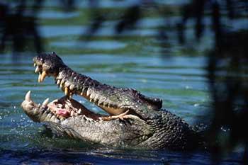 alligatory-berut-dan-zhivymi-ptencami_001