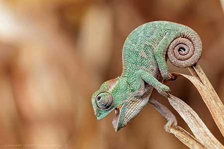chameleons_10