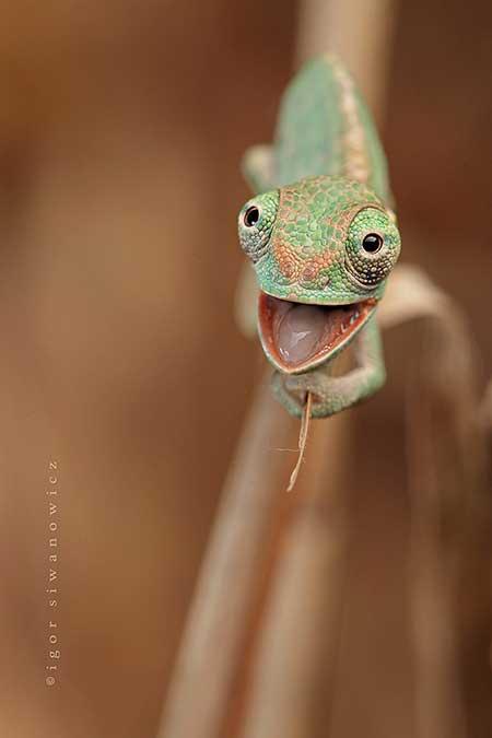 chameleons_2