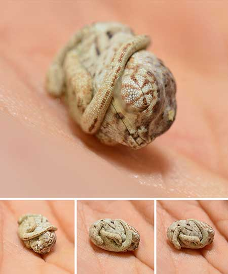 chameleons_3