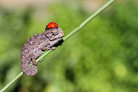 chameleons_4