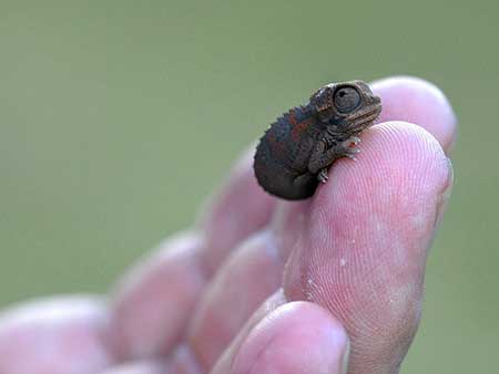 chameleons_5