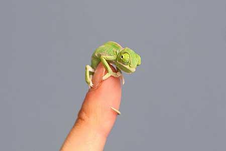 chameleons_7