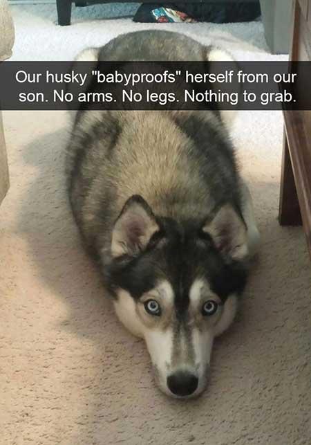 husky_2