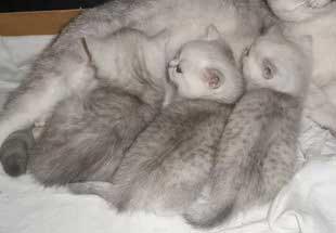 порода кошек шиншила