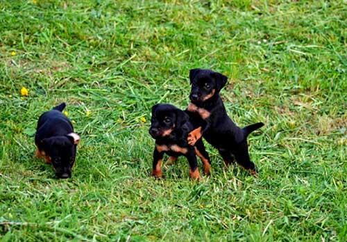 Как выбрать щенка ягдтерьера