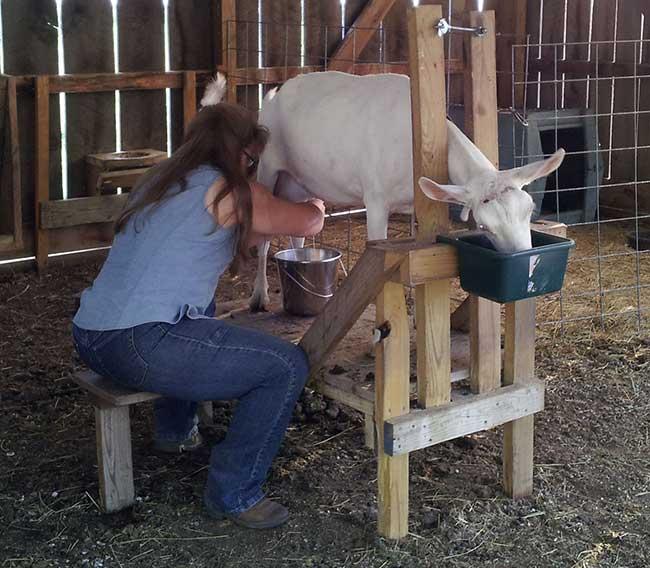 доение коз