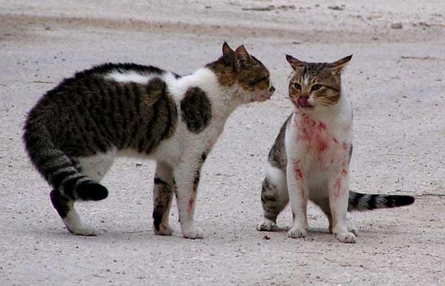 агрессия у котов, драки между котами, что делать если коты дерутся
