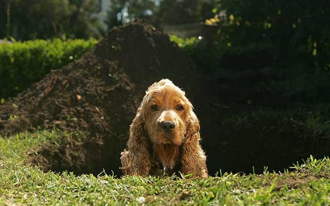 собака роет ямки, как отучить собаку рыть ямки