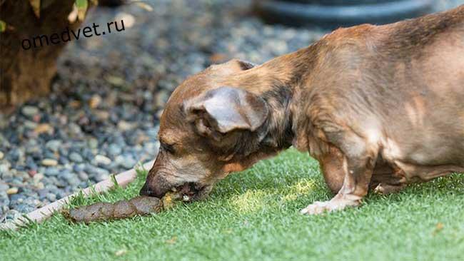 Капрофагия - поедание собаками своих фекалий