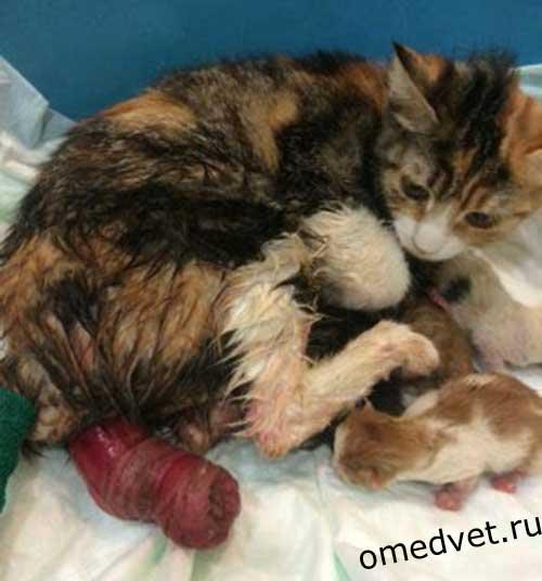 Выворот матки у кошек