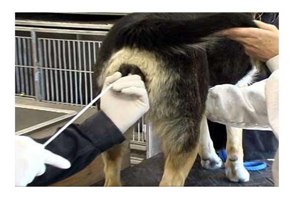 Искусственное осеменение собак