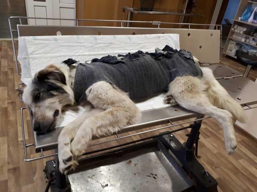 Как восстановить собаку после операции или болезни