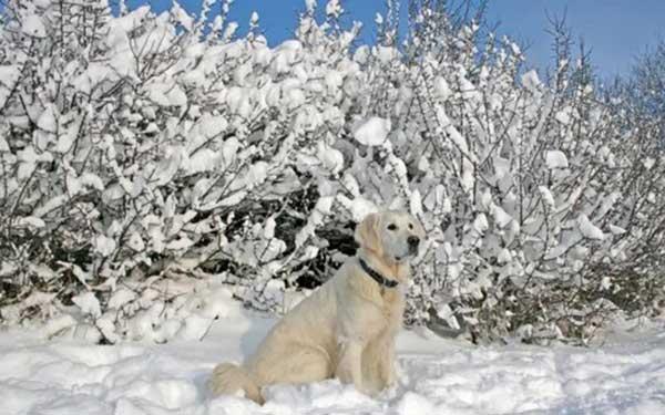 Мерзнет ли собака зимой
