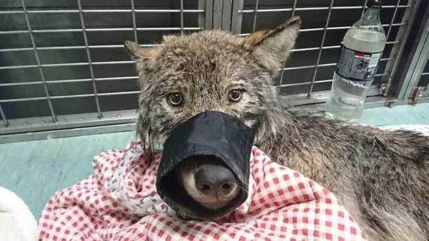 спасенная собака оказалась не собакой