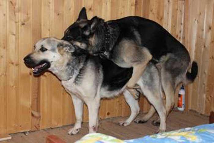 Вязка у собак, как правильно случать собак