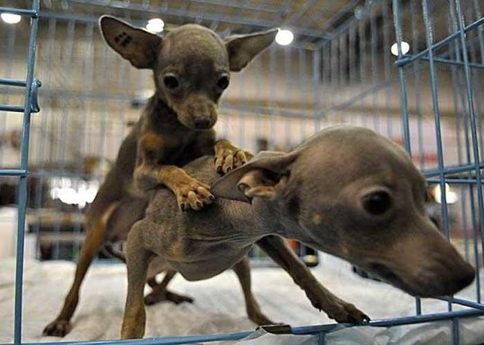 Вязка у собак мелких пород