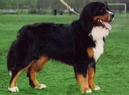 bernskij-zennenhund_001